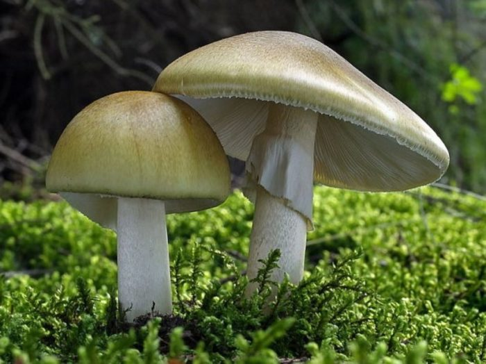 Две красивых бледных поганки в траве