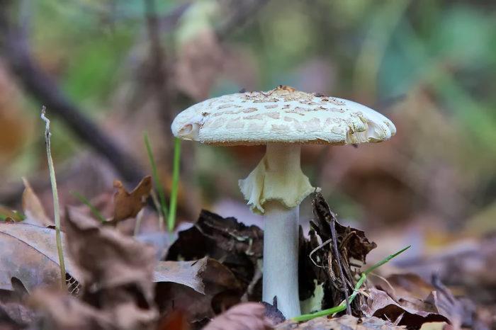 Белый весенний мухомор в лесу