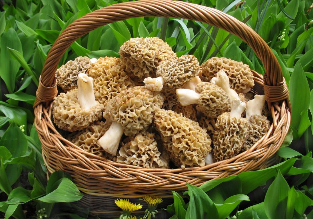 Польза от грибов сморчков