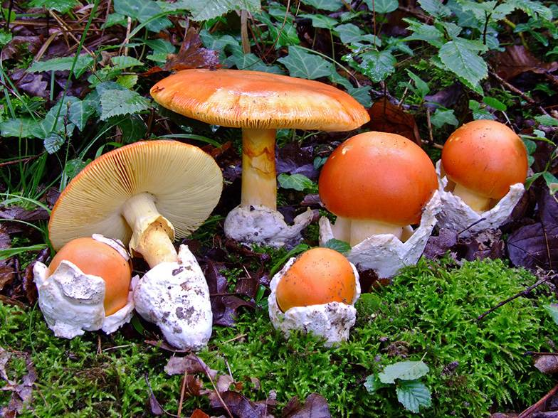 Скопление царских грибов