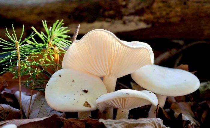 Желтовато-белые грибы Гигрофоры
