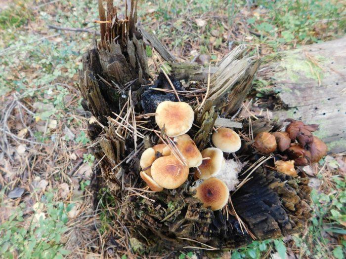 В большинстве случаев эти грибы можно найти на древесных пнях