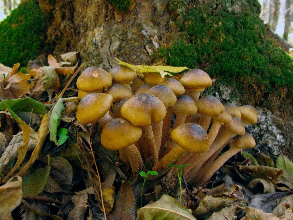 Осенний медовый опенок
