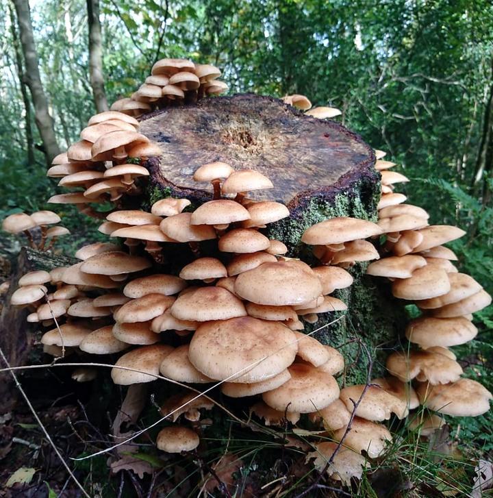 Где растет опенок осенний и когда его собирают: большие хитрости маленького гриба