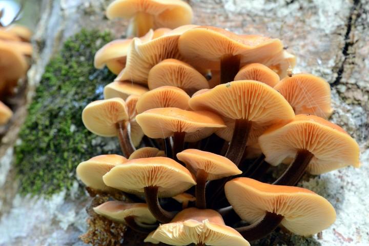 Опенок зимний (фламмулина): где растет, описание, фото, рецепты